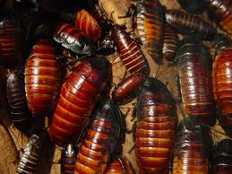 cockroaches1